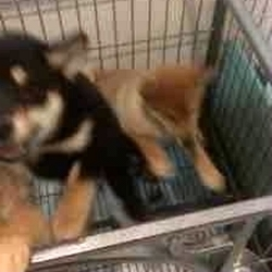 2公2母 柴犬 3个多月